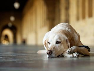 Η Λεϊσμανίαση στο σκύλο