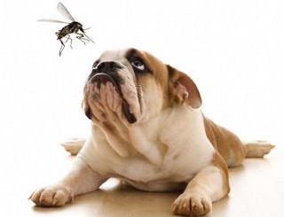 Διροφιλαρίωση στον σκύλο - Σκουλήκι της καρδιάς