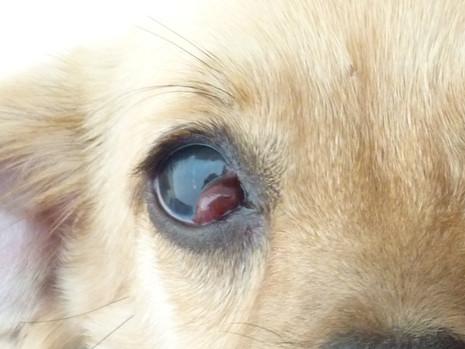 Προβολή του αδένα του τρίτου βλεφάρου στο σκύλο
