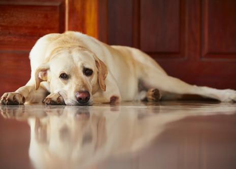 Διάταση και στροφή στομάχου στο σκύλο