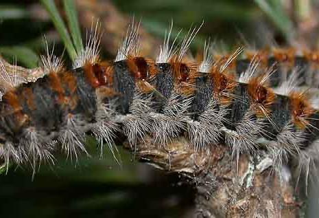 Κάμπια των πεύκων ή Πιτυοκάμπη - ένας μεγάλος κίνδυνος για τα κατοικίδια ζώα