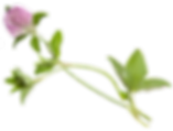 Young%20flower%20of%20clover%20isolated%