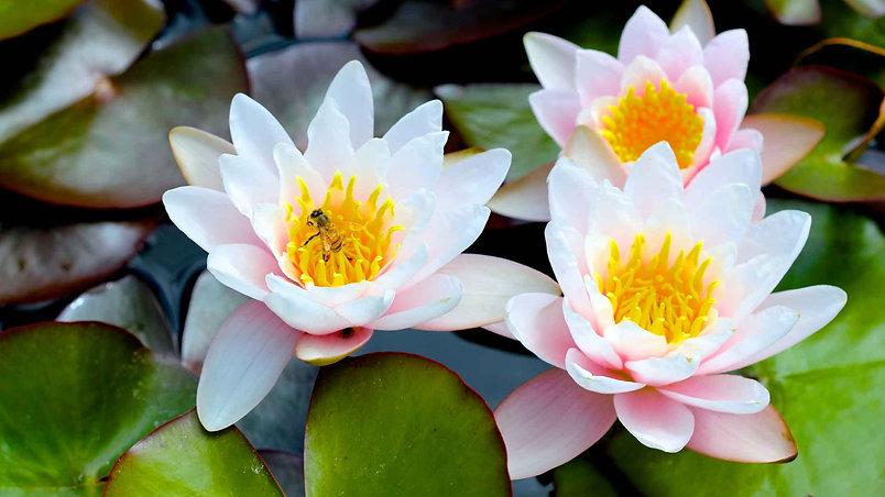 Honey-Bee-Water-Lily-Honey.jpg