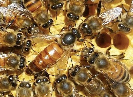 Bee Sex: A One-Time Love Affair