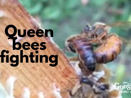 Queen Bees Fighting