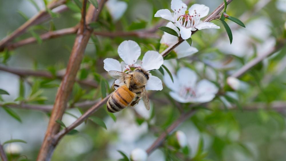 Honeybee visiting the manuka flower