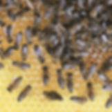 Honey-1_edited.jpg