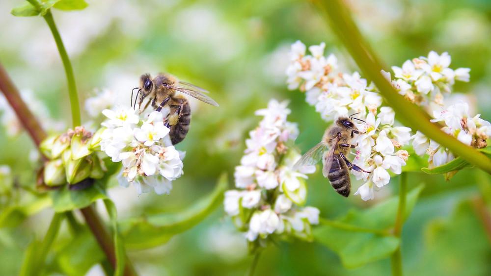 Honeybees visiting buckwheat flowers