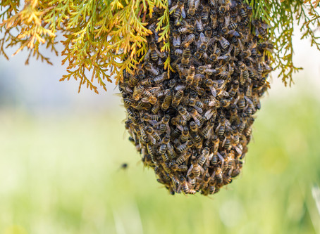 What is a honey bee swarm?