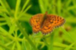 Engperlemorsommerfugl (foto: Rune Engelbreth Larsen)