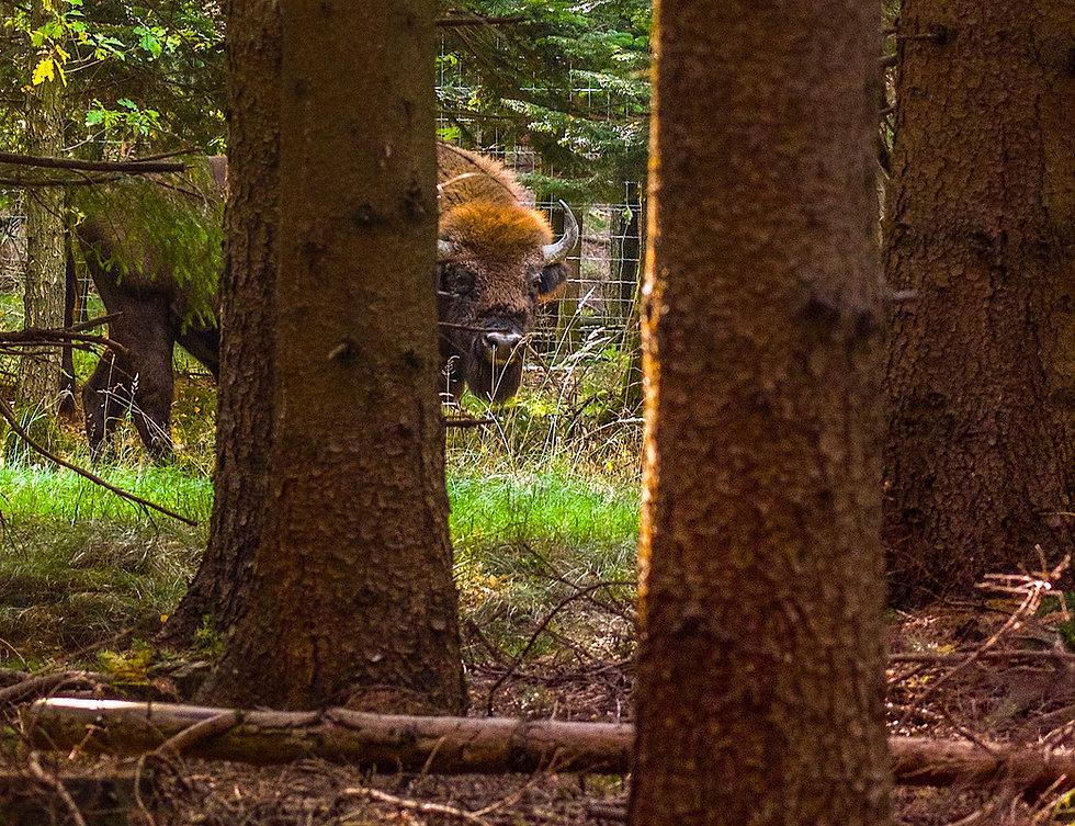 Europæisk bison ved hegnet i Almindingen (foto: Rune Engelbreth Larsen)