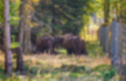 Europæisk bison, Bisonskoven i Almindingen (foto: Rune Engelbreth Larsen)