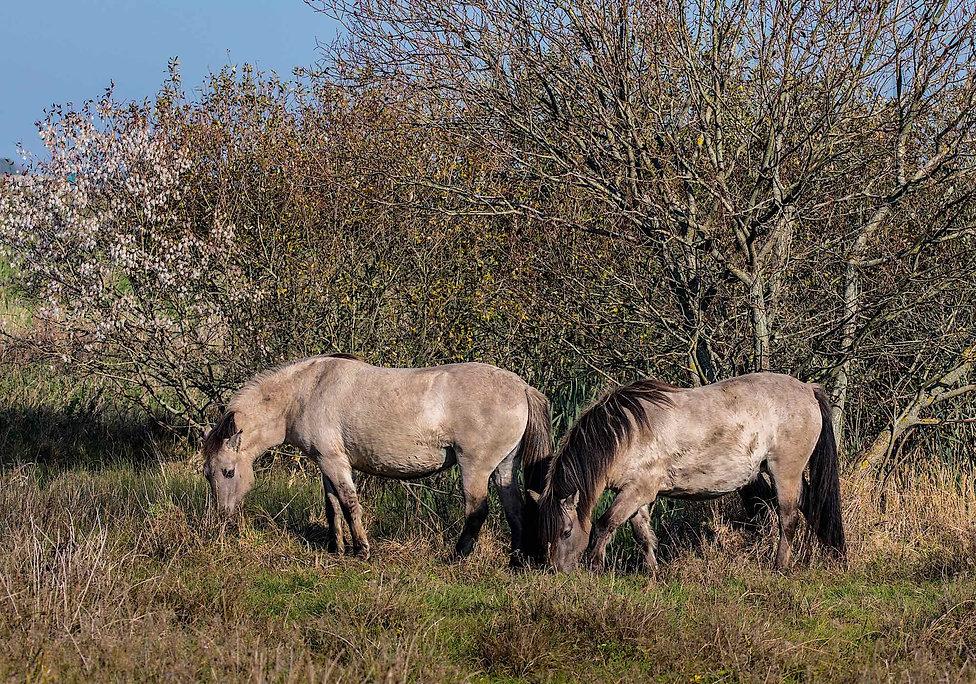 Vildheste (Konik), Geding-Kasted Mose (foto: Rune Engelbreth Larsen)