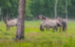 Vildheste (Konik) i Bøtøskoven på Falster (foto: Rune Engelbreth Larsen)