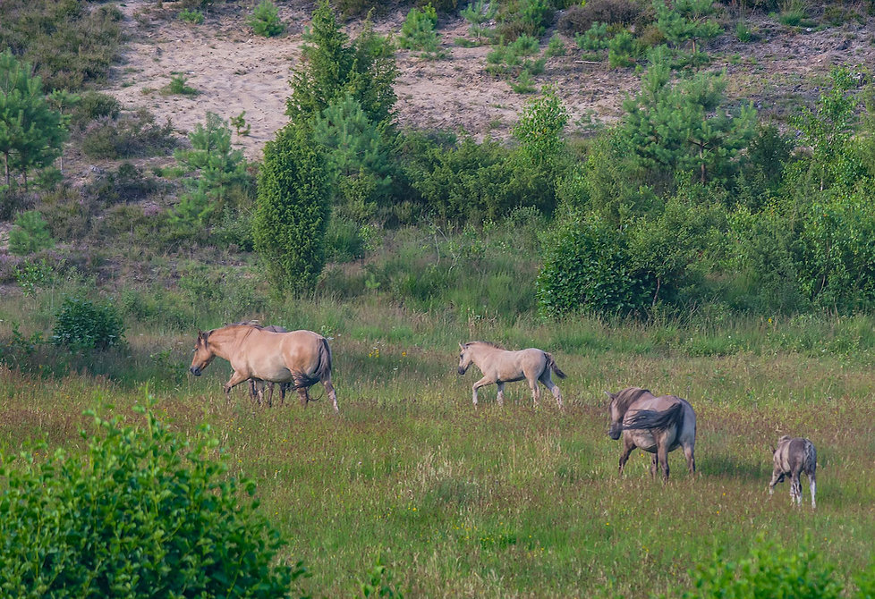 Dülmener-vidheste på Lüneburge Heide (foto: Rune Engelbreth Larsen)