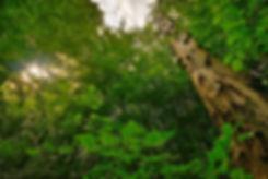 Ensartet skovbillede i Bidstrup Skovene med enkelt dødt træ (foto: Rune Engelbreth Larsen)