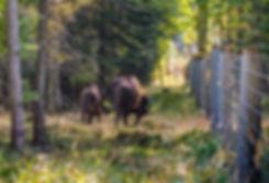 Bisoner ved hegnet i Almindingen (foto: Rune Engelbreth Larsen)