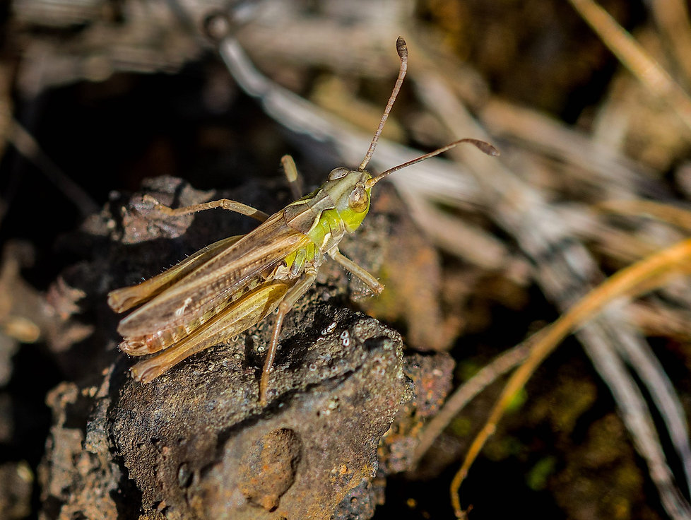 Kølle-græshoppe (foto: Rune Engelbreth Larsen)