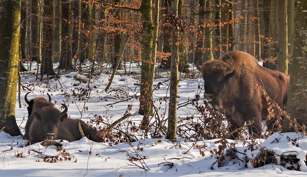 Bisoner i sneen, Merritskov (foto: Knuthenborg Safaripark)