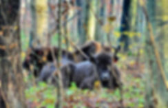 Bisoner daser Merritskov, Lolland (foto: Knuthenborg Safaripark)