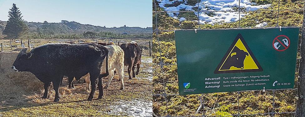 Vildokser tilskudsfodres massivt i stede for at være en del af naturen i Jammerbugt Kommune