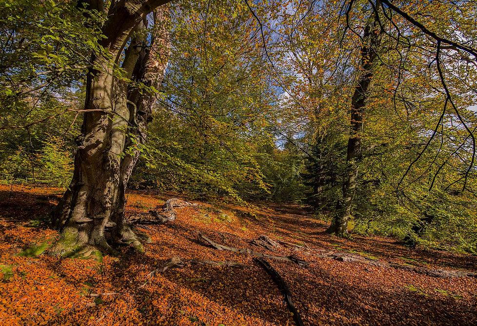 Hammermølle Skov (foto: Rune Engelbreth Larsen)
