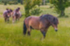 Vildheste ved Næstved Øvelsesterræn (foto: Rune Engelbreth Larsen)
