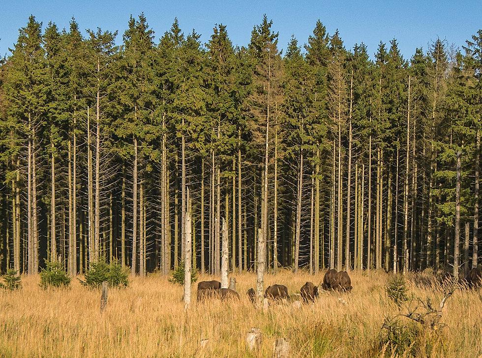 Bisonskoven på Bornholm (foto: Rune Engelbreth Larsen)