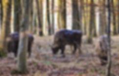 Europæisk bion i Merritskov, Lolland (foto: Knuthenborg Safaripark)
