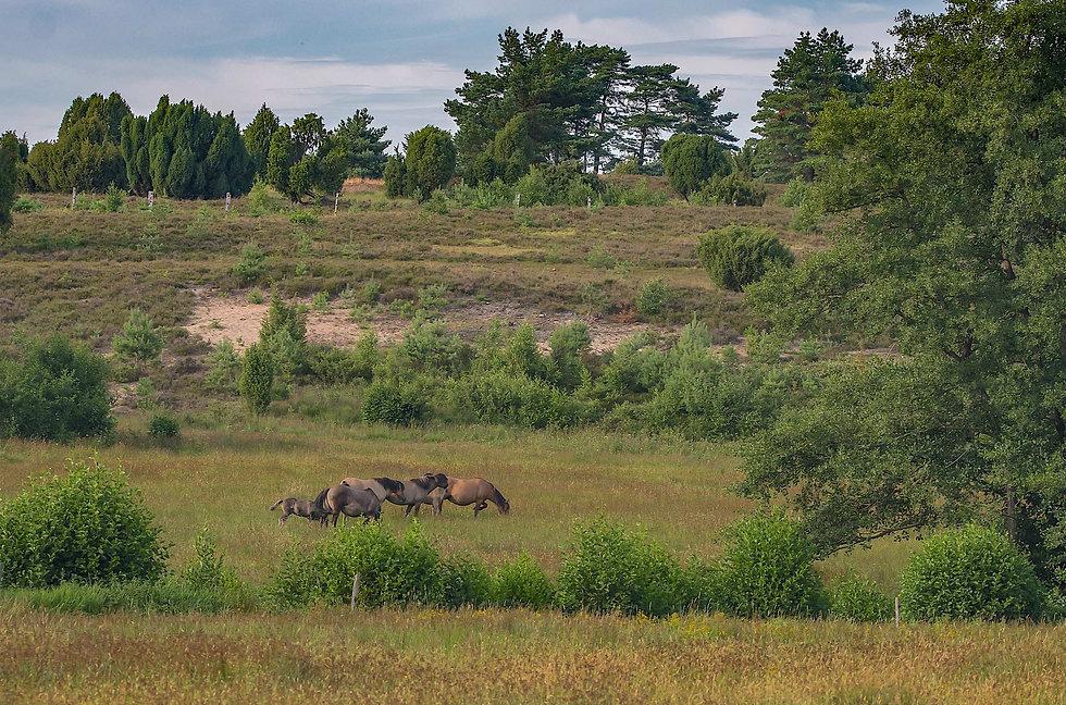 Vildheste på Lüneburge Heide (foto: Rune Engelbreth Larsen)
