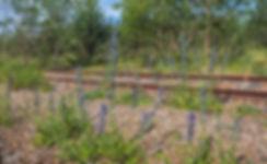 Slanghved og tidselsommerfugle ved Rødbyhavn Rangerterræn  (foto: Rune Engelbreth Larsen)