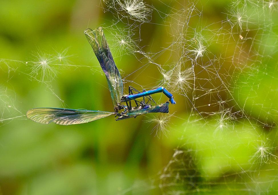 Vandnymfe har mødt sit endeligt i spindelvæv (foto: Rune Engelbreth Larsen)