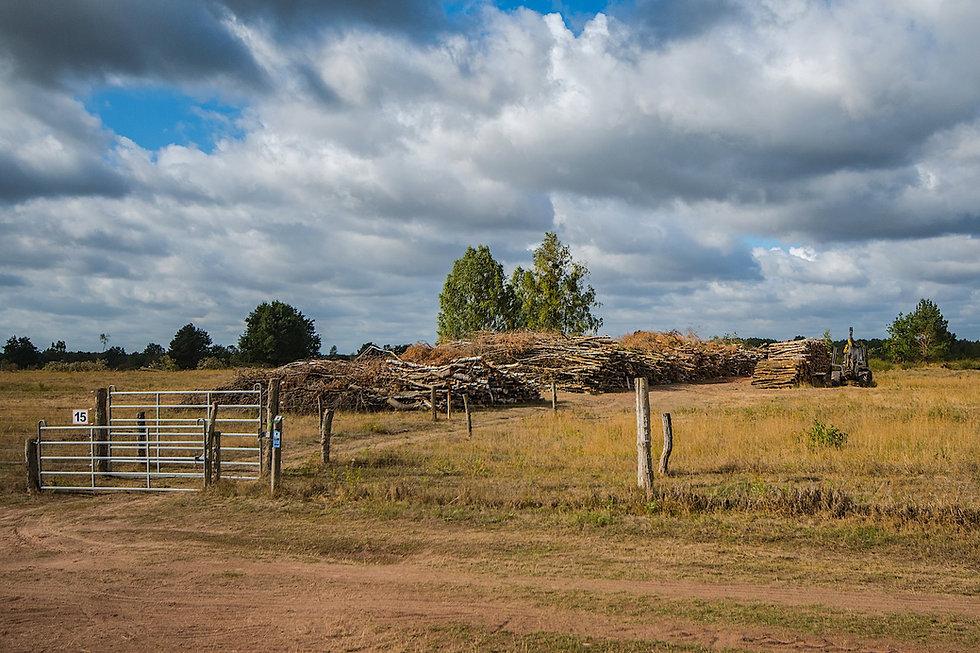I 2018 er større bevoksninger fældet i kernezonen i Döberitzer Heide (foto: Rune Engelbreh Larsen)