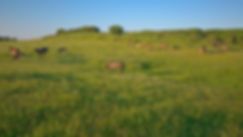Exmoor Ponyer, Sydlangeland (foto: Rune Engelbreth Larsen)