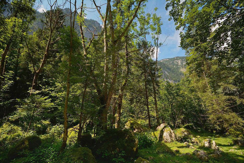 Skovparti mellem Obersee og Königssee(foto © Rune Engelbreth Larsen).
