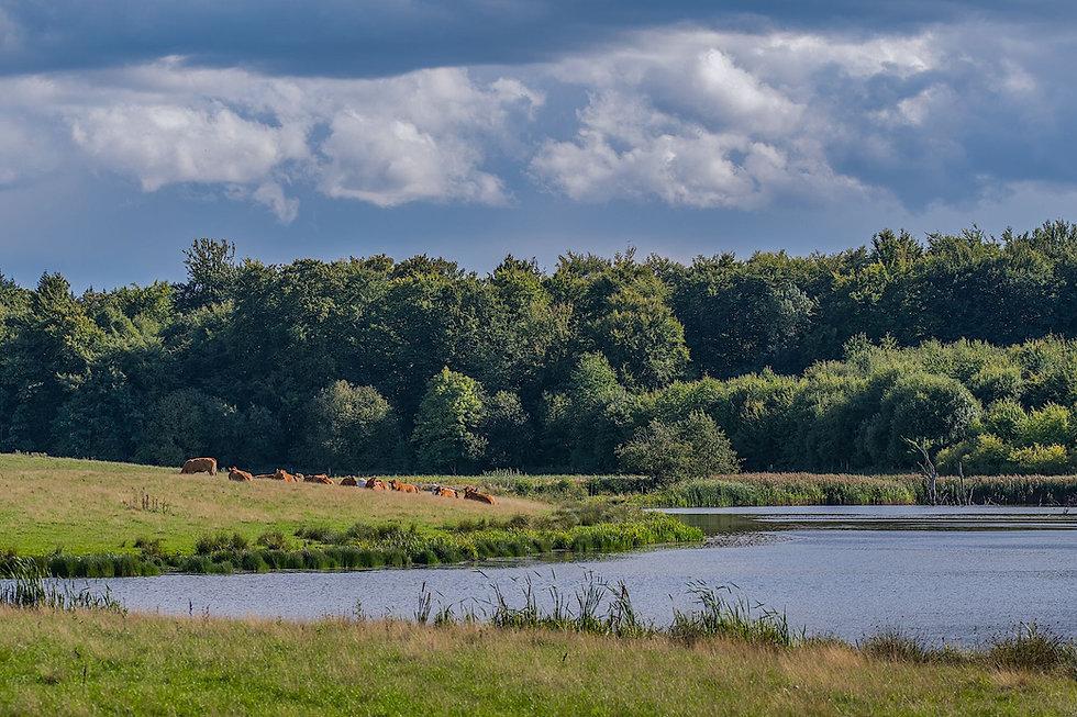 Græssende kreaturer ved Hejede Sø (foto: Rune Engelbreth Larsen)