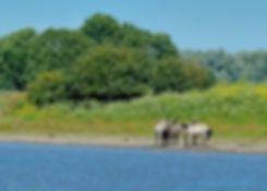 Konik-heste ved en sø, Oostvaardersplassen (foto: Rune Engelbreth Larsen)