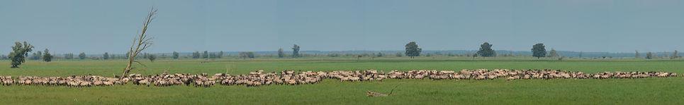 Slut med de store flokke af vildheste i Holland (foto: Rune Engelbreth Larsen)