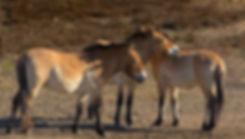 Przewalski-heste, Döberitze Heide (foto: Rune Engelbreth Larsen)