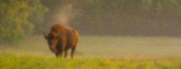Europæisk bison.Bialowieza Nationalpark, Polen (foto © Rune Engelbreth Larsen).