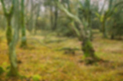 Urørt skov, Tranum Klitplantage (foto: Rune Engelbreth Larsen)