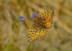 Klitperlemorsommerfugl (foto: Rune Engelbreth Larsen)