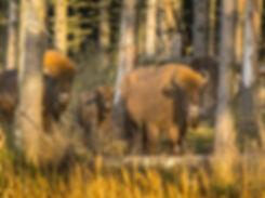 Europæisk bison, Bornholm (foto: Rune Engelbreth Larsen)