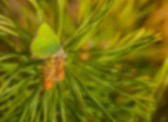 Grøn busksommerfugl (foto: Rune Engebreth Larsen)