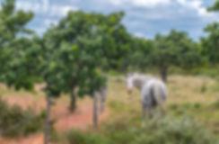Hestegræsning på Melby Overdrev (foto: Rune Engelbreth Larsen)