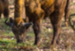 Europæisk bison i skoven, Döberitzer Heide (foto: Rune Engelbreth Larsen)