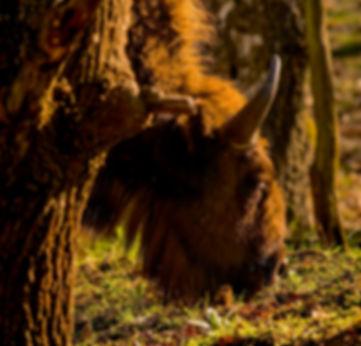 Europæisk bison, Döberitzer Heide  (foto: Rune Engelbreth Larsen)