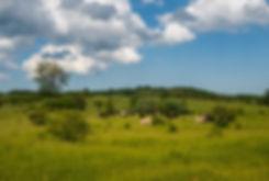 Vildokser (Galloway) ved Næstved Øvelsesterræn (foto: Rune Engelbreth Larsen)