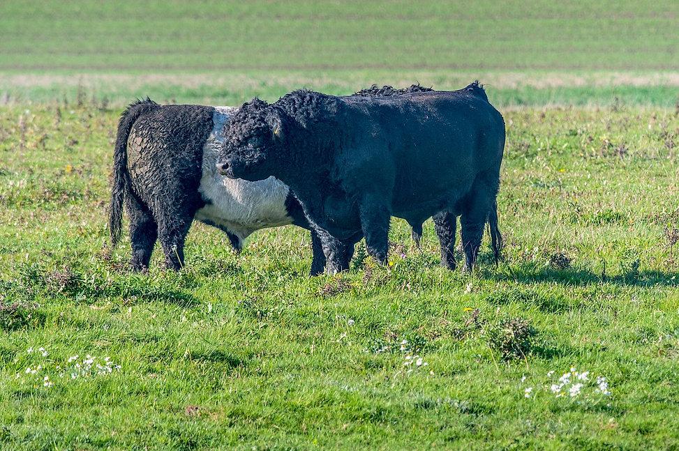 Vildokser (Galloway), Geding-Kasted Mose (foto: Rune Engelbreth Larsen)