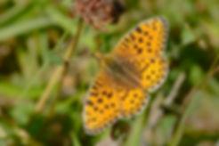 Skovperlemorsommerfugl (foto: Rune Engelbrth Larsen)